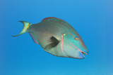 Stoplight Parrotfish Supermale Poster by Peter Scoones
