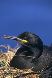 Shag on a Nest Posters by Duncan Shaw
