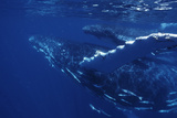 Humpback Whales Prints by Alexis Rosenfeld