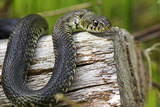 Grass Snake Photographic Print by Duncan Shaw