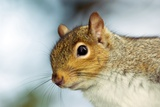 Grey Squirrel Photographic Print by Duncan Shaw
