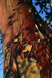 Madrone Tree Bark Photographic Print by Alan Sirulnikoff