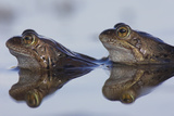 Common Frogs Spawning Photographic Print by Duncan Shaw