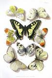 British Butterflies, 1897 Posters by Maria Platt-Evans