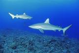Grey Reef Shark And Black-tip Reef Shark Prints by Alexis Rosenfeld