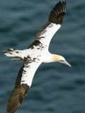 Northern Gannet In Flight Photographic Print by Duncan Shaw
