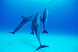 Atlantic Spotted Dolphins Posters by Alexis Rosenfeld