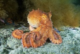 Octopus, Japan Photographic Print by Alexander Semenov