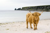 Highland Cow on a Beach Photographic Print by Duncan Shaw