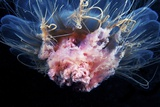 Lion's Mane Jellyfish Photographic Print by Alexander Semenov