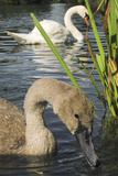 Mute Swans Photographic Print by Duncan Shaw