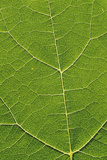 Leaf Veins Photographic Print by Alan Sirulnikoff