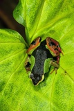 Painted Mantella on a Leaf Poster by Alexis Rosenfeld