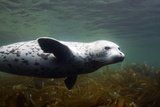 Spotted Seal, Japan Photographic Print by Alexander Semenov