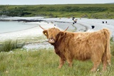 Highland Cattle by the Sea Photographic Print by Duncan Shaw