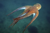 Octopus Swimming, Japan Photographic Print by Alexander Semenov