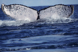 Humpback Whale Photo by Alexis Rosenfeld