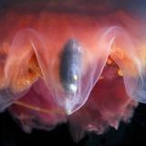 Amphipod Inside a Moon Jellyfish Photographic Print by Alexander Semenov