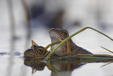 Common Frogs Mating Photographic Print by Duncan Shaw