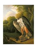 A Hobby Hawk and Prey Shot at Buxton, 1812 Giclee Print by Robert Wilkinson Padley