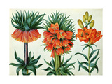 Crown Imperial Lily Giclee Print by Alexander Marshal