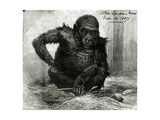 The Gorilla at the Zoological Society's Gardens, from the 'Illustrated London News', 12th… Giclee Print by Charles Whymper