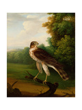 A Young Female Hawk, One Year Old Giclee Print by Robert Wilkinson Padley