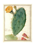 Pd.115-1973. F38 Detail of Cactus with Orange Flower, C.1764 Giclee Print by Georg Dionysius Ehret