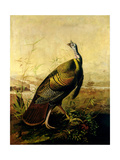 The American Wild Turkey Cock Giclee Print by John James Audubon
