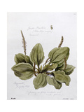 Greater Plantain, Painted at Bayswater, 24th July 1859 Giclee Print by William James Linton