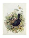 Blackbird, 1873 Impression giclée par John Gould