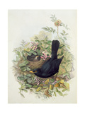 Blackbird, 1873 Giclee Print by John Gould