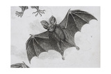 Bat, Engraved by Milton Giclee Print by Sydenham Teast Edwards