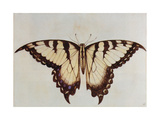 Swallow-Tail Butterfly Giclee Print by John White