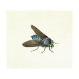 The Horsefly, 18th Century Giclee Print by Georg Dionysius Ehret
