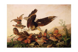 Red-Shouldered Hawk Attacking Bobwhite Partridges, 1827 Giclee Print by John James Audubon