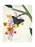 Butterfly: Papilo Crino Pub. by the Artist, 1798 Giclee Print by Edward Donovan