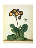 Primulaecae: a Flowering Polyanthus with a Flying Insect, 1764 Giclee Print by Georg Dionysius Ehret