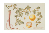Citrullus Colocynthius (Bitter Apple and Bitter Cucumber) Giclee Print by Claude Aubriet
