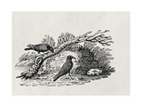 Crows (Corvus Corone Corone) from the 'History of British Birds' Volume I, Pub. 1797 Giclee Print by Thomas Bewick