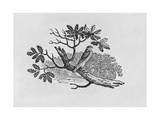 The Sparrowhawk (Accipiter Nisus) from the 'History of British Birds' Volume I, Pub. 1797 Giclee Print by Thomas Bewick