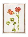 Pd.109-1973.F9 (Ltor) Spurge and Lilium Chalcedonicum Giclee Print by Nicolas Robert