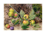 Apples on a Branch Giclee Print by John Sherrin
