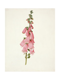 Pd.101-1973F.50 Foxglove (Digitalis Purpura) Giclee Print by Pieter Withoos