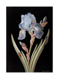 Pd.328-1973 Iris Germanica with Caterpillar and Beetle Giclee Print by Barbara Regina Dietzsch