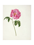 Pd.101-1973F.3 Rosa Gallica Versicolour (Rosa Mundi) Giclee Print by Pieter Withoos