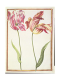Pd.109-1973.F4 Two 'Broken' Tulips Giclee Print by Nicolas Robert