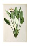 Strelitzia Reginae, from 'Les Strelitziaceae' Giclee Print by Pierre-Joseph Redouté