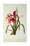 Amaryllis Formosissima, 1808, from 'Les Liliacees' by Pierre Redoute, 8 Volumes, Published 1805-16 Giclee Print by Pierre Joseph Redoute