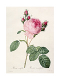 Rosa Centifolia, from 'Les Roses', Engraved by Couten, Published by Remond, 1817 Giclee Print by Pierre-Joseph Redouté